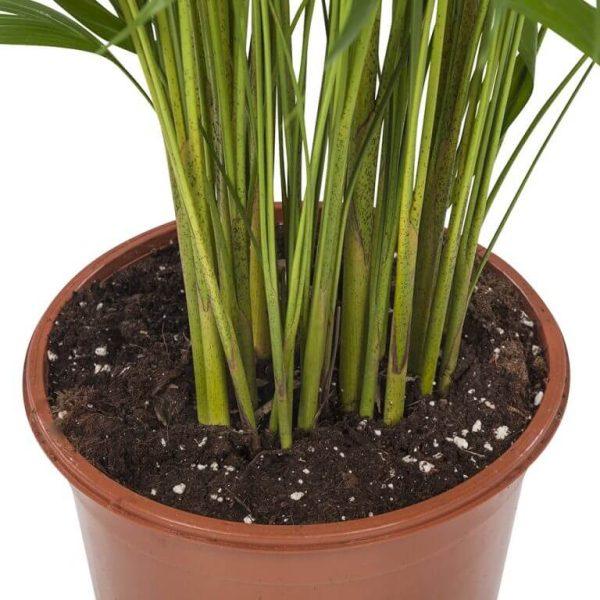 Areca Palm Pot