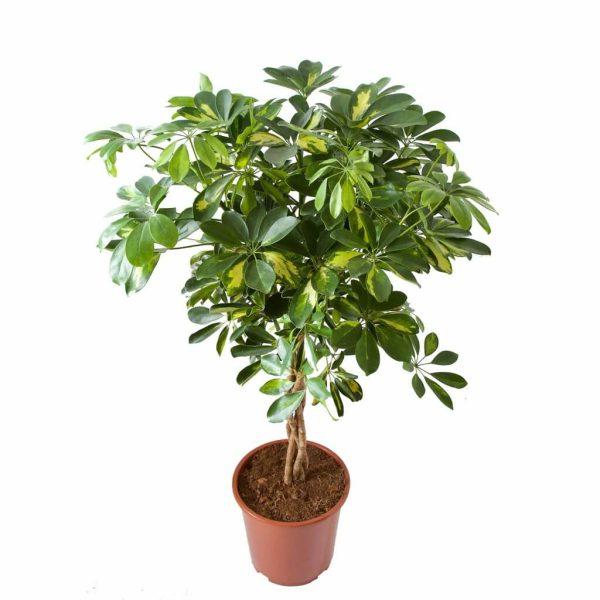 Schefflera Arboricola gold capella Zonder Pot