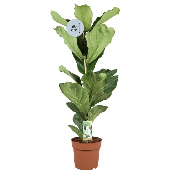 Hoogte Ficus Lyrata