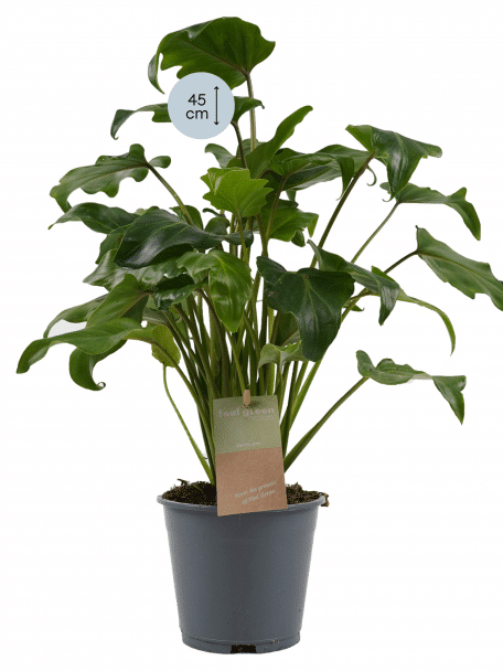 Plantinformatie Philodendron Xanadu Marvy Green