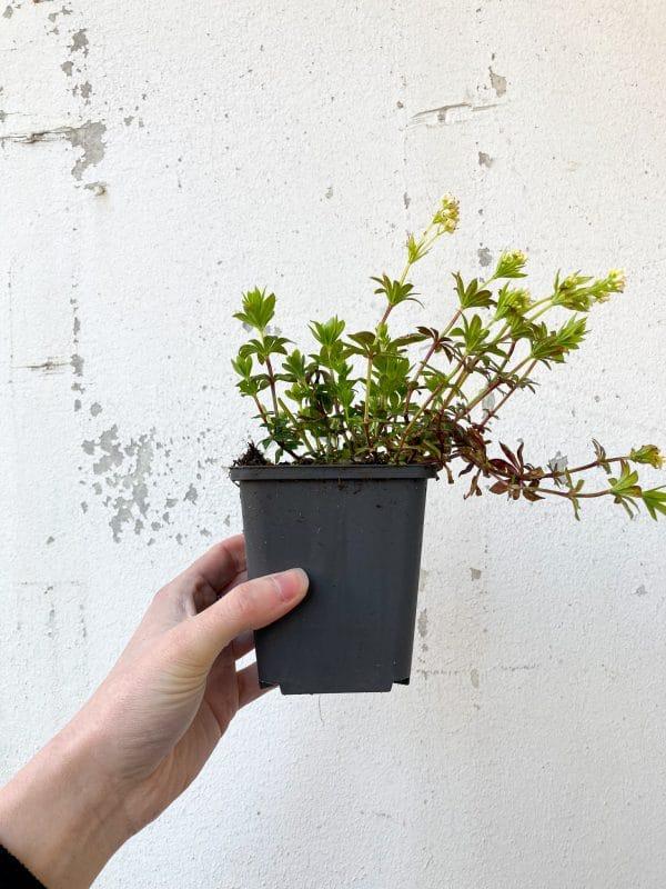 Galium Odoratum (Vrouwebedstro)