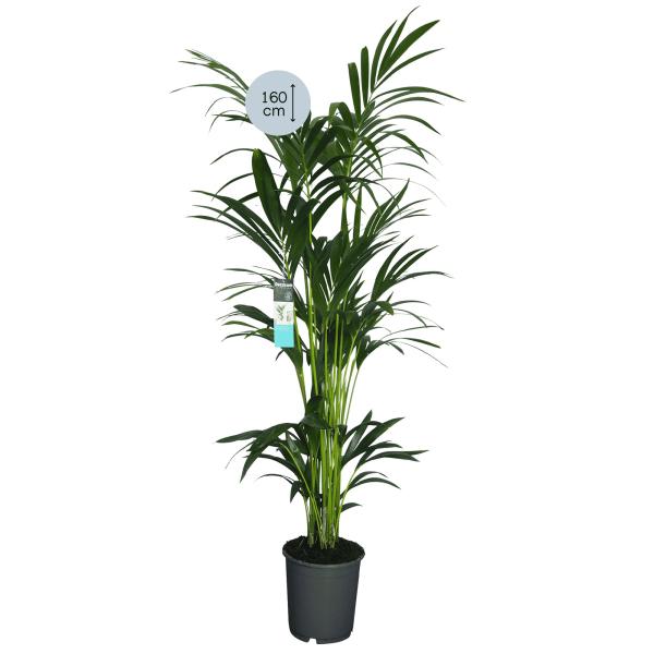 Kentia Palm XL
