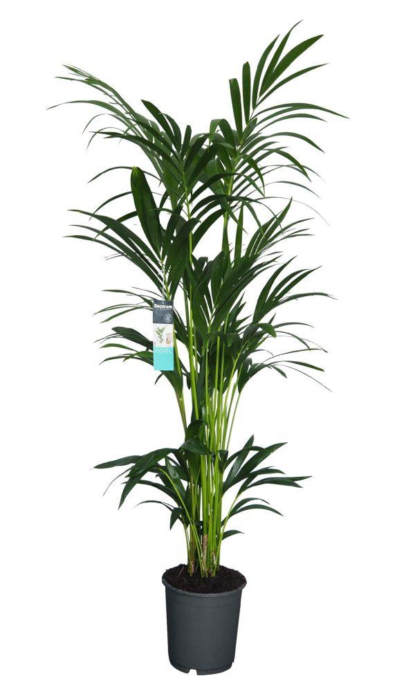 XL Kentia Palm