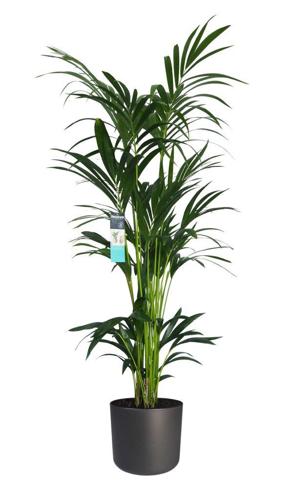 XL Kentia Palm Elho Antraciet