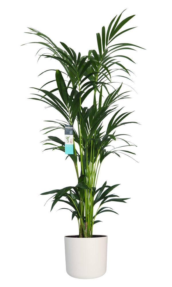 XL Kentia Palm Elho Wit