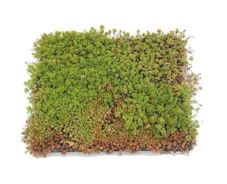 Groendak systeem semper green place and go sedum tray cassette